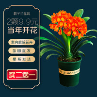 精品君子兰盆栽带花苞高档四季名贵花苗室内花卉圆头和尚客厅绿植
