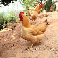 买1只送1只 土鸡农家散养鸡三黄鸡老母鸡公鸡走地鸡鸡肉净重约2斤 *2件