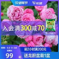 欧月丰花灌木耐热抗病进口月季花庭院花卉盆栽音乐厅艾拉绒球