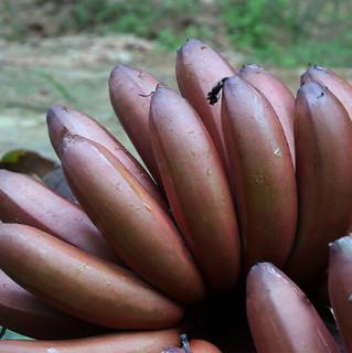福建漳州红皮香蕉 5斤