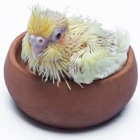 棕头牡丹鹦鹉鸟活体黄化玄凤雏鸟(送奶粉+喂食器)