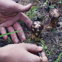 焦大哥 香格里拉 冻鲜松茸 5-9cm 500g
