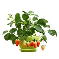 千芳翠 奶油草莓5棵装(含盆)