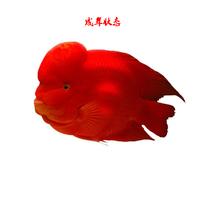 热带血鹦鹉鱼-活体发财鱼 红鹦鹉8-9cm1条