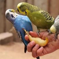 虎皮鹦鹉 2只(一公一母)-活体宠物特价 送新手礼包