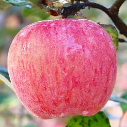 红运道 红富士苹果 10斤 果径 70mm-75mm