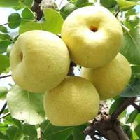 砀山酥梨 一级梨子(30-50年树龄) 精选大果 净重5斤