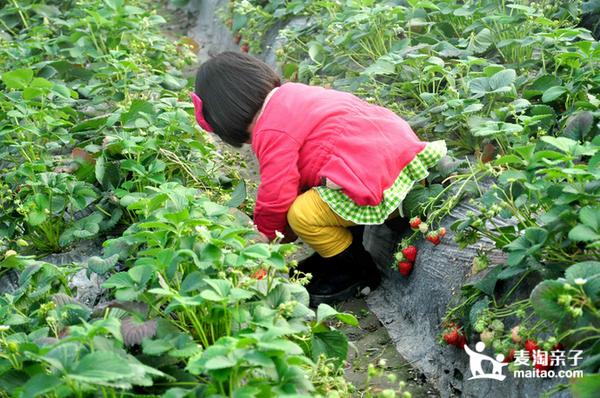 上海青浦赵屯静静草莓园 草莓采摘1斤+农场畅玩