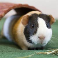 朗缤 荷兰猪活体宠物豚鼠-黄白黑三色2只 送运输笼