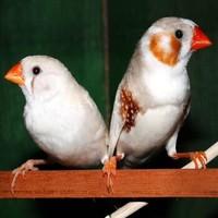 朗缤 珍珠鸟 特惠款:灰珍珠+白珍珠 共2只(一公一母)