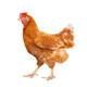 赐酿 散养童子鸡 750g *2件 54.9元包邮(双重优惠)