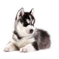 哈士奇幼犬  纯种   活体宠物