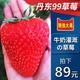 现摘 丹东99大草莓鲜果新鲜水果奶油牛奶九九草莓鲜草莓一箱批发 59元