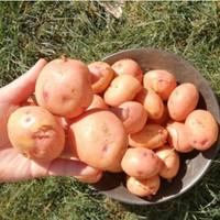 蔬果篇二真香-----红薯、柠檬、苹果、土豆