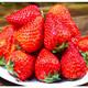 欢芙琅 正宗新鲜当季草莓 2斤 22.9元包邮(需用券)