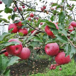 红富士冰糖心苹果 80mm以上 特级大果