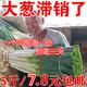 山东大葱 铁杆大葱新鲜长葱蔬菜农产品煎饼卷葱去叶葱白5斤装 7.8元