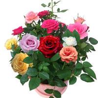 阿克苏河 红玫瑰 室内绿植 (含盆)