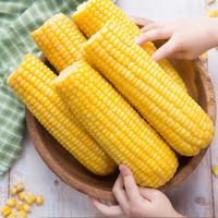 东北粘玉米黄玉米8根装