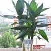 4月5日0点水培富贵竹*10棵