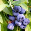 千芳翠 蓝莓果树苗 2年期