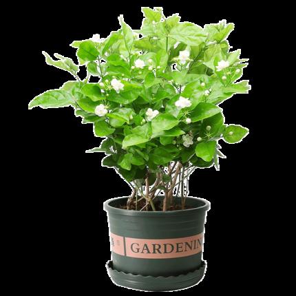 白菜免单周:绿叶飞 茉莉花盆栽 (带简易盆)