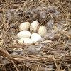 对面小城 散养大鹅蛋 单枚约100-120g 6枚装