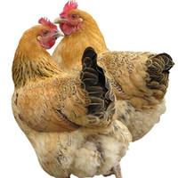 淘穗 2年散养土鸡 杀前约1.5kg/只