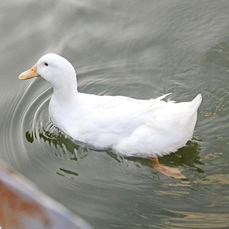 云依禾农庄 农家散养大白鸭子 净重1000g