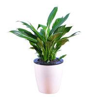 世纪奥桥 室内花卉盆栽净化空气办公室花卉观叶盆栽 一帆风顺 含盆