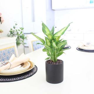 花七休 粉黛万年青黑陶花盆 绿植花卉盆栽 室内居家桌面阳台办公室绿植 带盆栽好