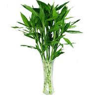 奕通 室内盆栽富贵竹 高60cm 20棵