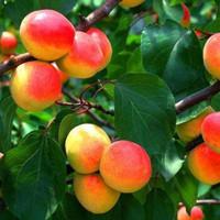 新疆阿克苏红杏  3.6斤