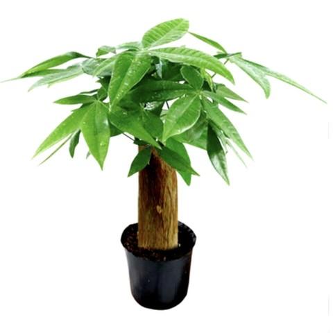 花知态 发财树盆栽 多款可选