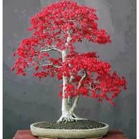 YILIN 一霖 红枫老桩盆栽树苗 红枫 2年苗