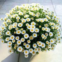YILIN 一霖  四季白雪雏菊种子 100粒+肥料