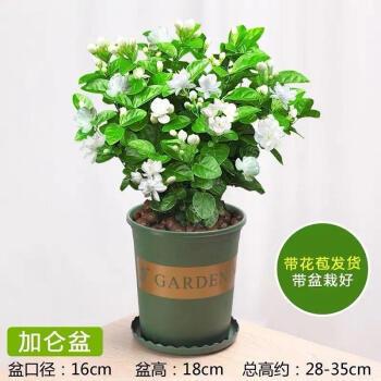 且末 茉莉花盆栽 4-5颗 中盆+肥料