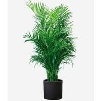 SIBAOLU 斯宝路 散尾葵凤尾竹盆栽 不含盆15-20高