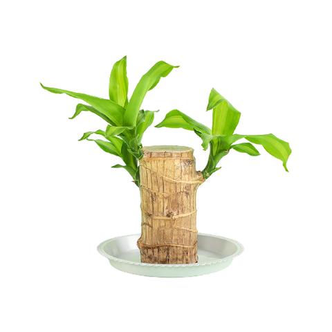 迷糊妞 迷你室内盆栽 高约10cm