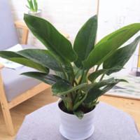 斯宝路 绿公主大叶金钻 20-25cm 白色花盆