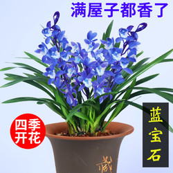 建兰四季兰 蓝宝石有香味的兰花苗 夏带花苞出售花卉好养兰花盆栽