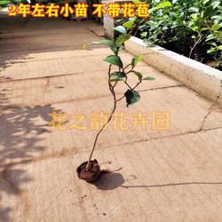 含笑花盆栽浓香型花卉易活四季常青绿植庭院植物耐寒花卉含笑树苗 2年小苗 不含盆