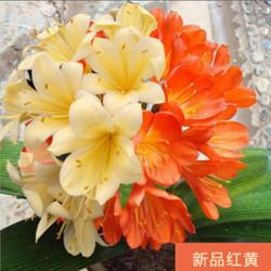 虔四季君子兰盆栽带花苞老苗大小苗花卉植物室内花好养圆头和尚长春 新品双色重瓣君子兰