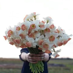 水仙花种球水培室内花卉盆栽水养植物 粉天使(包开花浓香型) 重瓣精品大球6个+