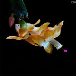 盆栽蟹爪兰苗室内四季开花绿植花卉可嫁接盆栽 精品1-1花色 精品19-24棵