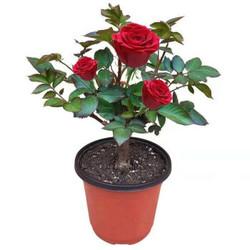 一颗多色嫁接玫瑰花苗四季开花客厅室内外月季花苗盆栽花卉绿植物 红玫瑰