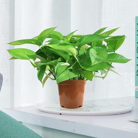 绿航绿萝 绿萝盆栽 含盆