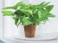 绿航绿萝 砖色青叶绿萝盆栽 含盆