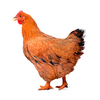 WENS 温氏 散养90天以上 黄油鸡 1kg*6+温氏 国产海鲈鱼块250g*2