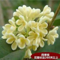 奕通 四季桂花树 2年苗